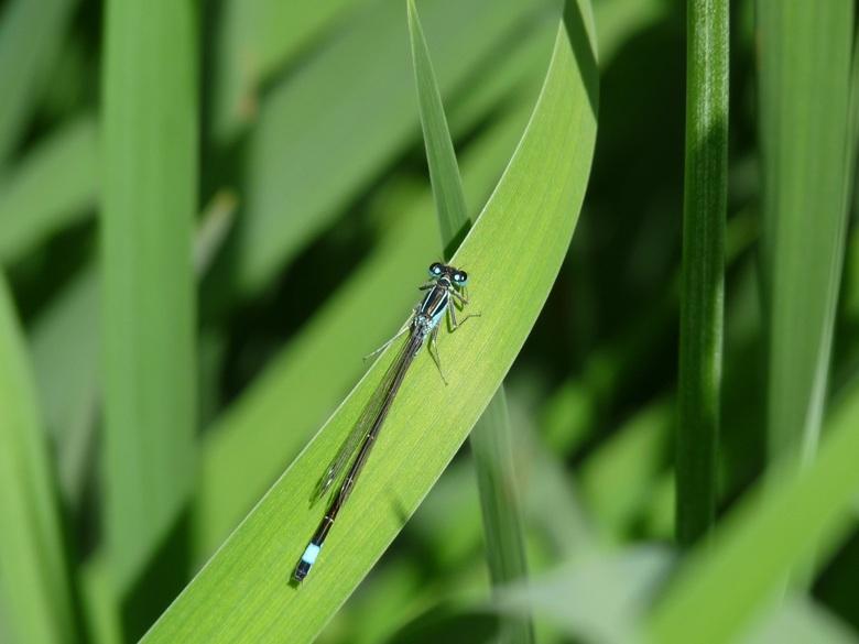 Libelle op het gras - Een libelle met mooie blauwe ogen op het groene gras op een zonnige dag.