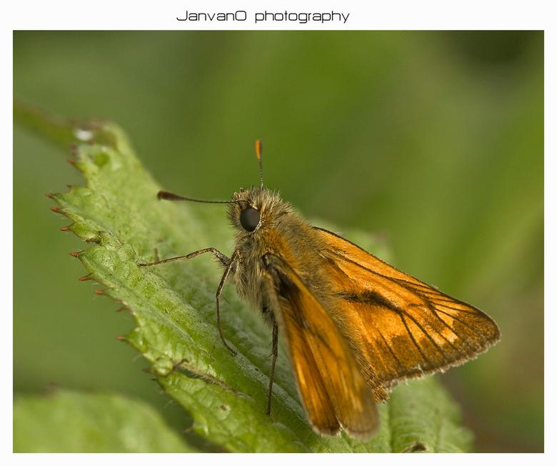 Ochlodes venata - De braamstruiken zijn de geliefde plekken van deze kleine vlindertjes.Tenminste bij mij in het dorp.<br /> <br /> Zelfs al is de n