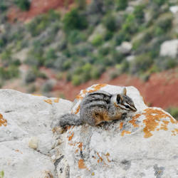 Grand Canyon eekhoorntje