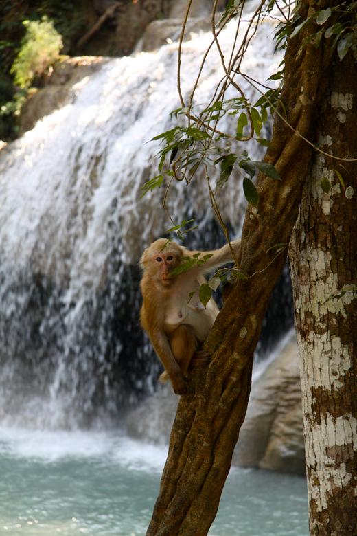 Apie - Een van de vele apen in Thailand