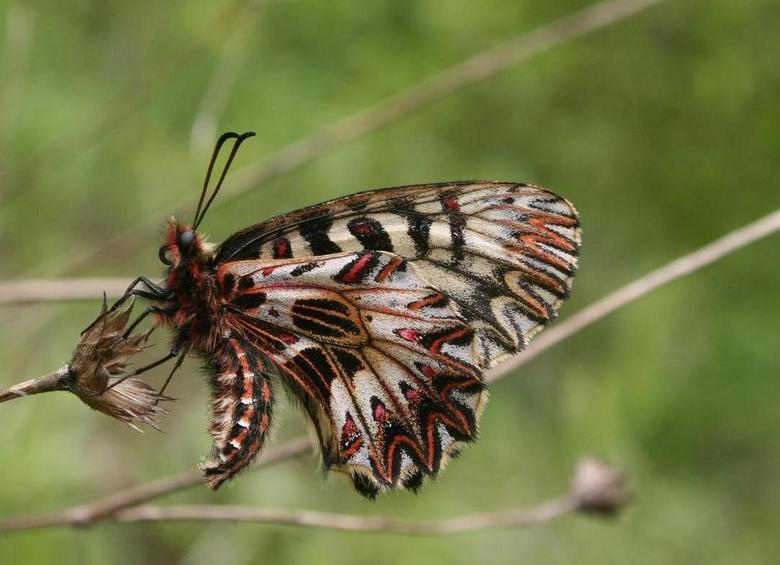 Butterfly - Butterfly @ Bosnia Herzegovina<br /> Zerynthia cerisy (Zuidelijke pijpbloemvlinder)