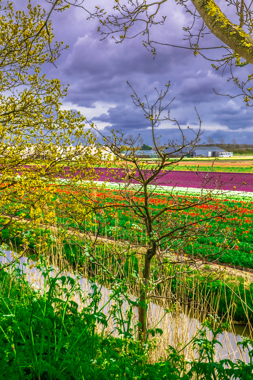 Tulip fields - Amazing tulip fields in Lisse