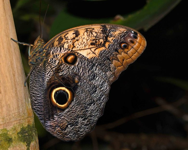 boehhh - Deze foto heb ik in de vlindertuin van  Wildlands gemaakt. De uilvlinder is één van de grote tropische vlindersoorten. De grote ogen op de ac