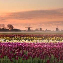 Tulpen Schermerhorn