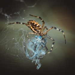 Caught by a spider