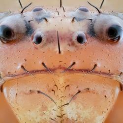 Het Portret van een krabspinnetje 15x Magn