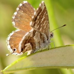 vlinder op zoek naar nectar