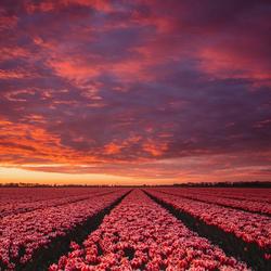 Tulpen met zonsopgang