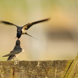 zwaluw etenstijd