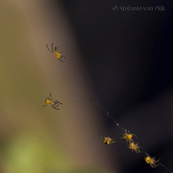 Spiderbabies-1