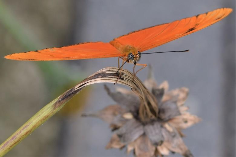 Oranje vlinder - Prachtige vlinder die even uitrust op een (droog)bloem. Hij maakt zich klaar voor de overwintering.