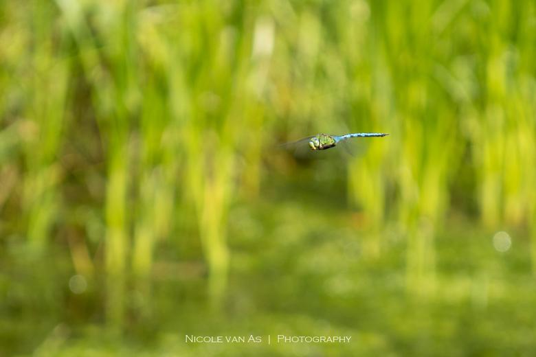 Blue devil - Een leuke uitdaging vandaag.  Terwijl ik bezig was met het fotograferen van waterjuffers, raasde een blauw gevaarte voorbij.  Rovend bove
