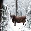 Sneeuw + Schotse hooglander