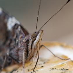 admiraalsvlinder close-up