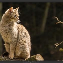 Wilde kat in tegenlicht