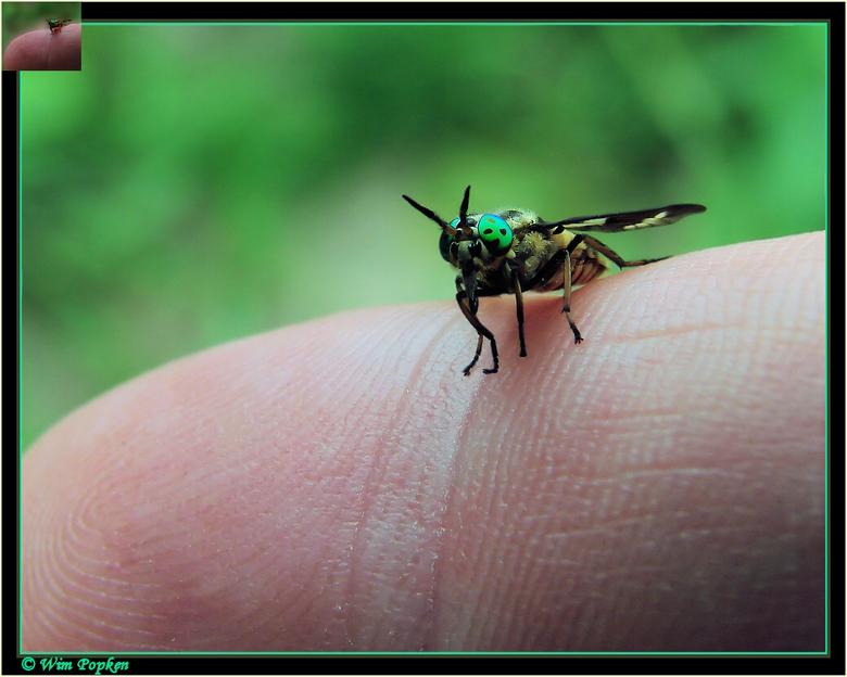 goudoogdaas (chrysops relictus) | macro foto van wim52 | zoom.nl