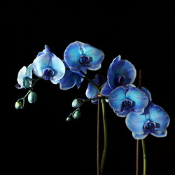 Orchidee in blue