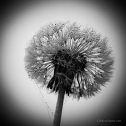 Pearled Dandelion.