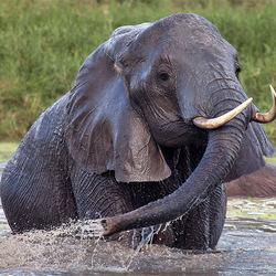Olifant in het water