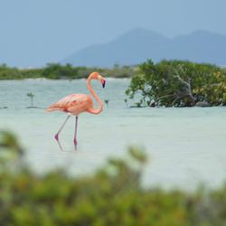 Flamingo Bonaire