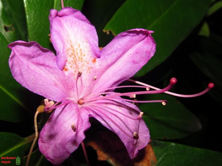 Macro Flower - Locatie : Park van Kapellen.