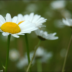 Wilde bloem.