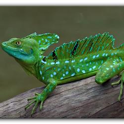 Jesus Christ Lizard...