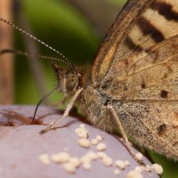 vlinder op pruim.jpg