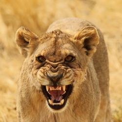 Boze leeuwin