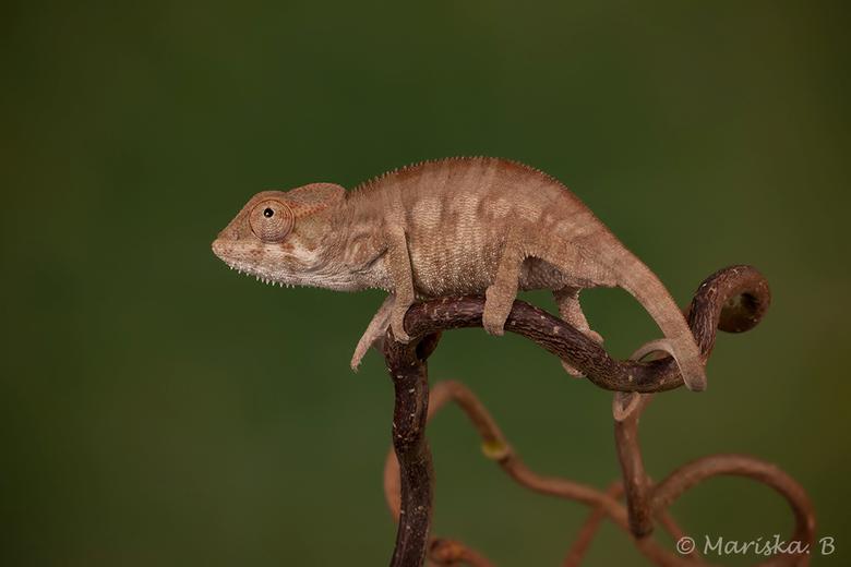 pantertje - panterkameleon Furcifer pardalis<br /> Mijn nieuwste schatje! <br /> Het is nog maar een baby maar behoort tot één van de grootste soort