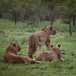 Leeuwen Kruger National