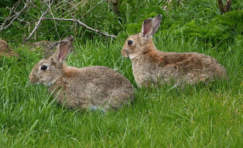Dieren serie 134. konijnen. - Deze twee konijnen kwam ik tegen tijdens een fietstocht op Texel, deze bleven lang genoeg zitten om mijn camera instelle