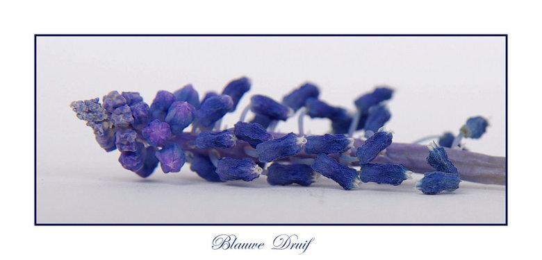blauwe druif -