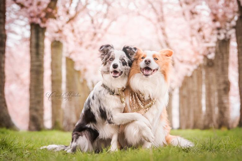 Best friends - Border Collies Ruby en Nymeria tussen de bloesembomen