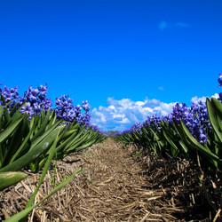 hyacinten in bloei