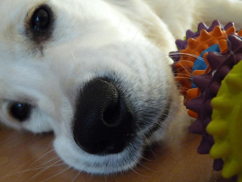 Nose - Close-up van de neus van onze hond<br /> <br />      Exif:<br /> Brandpuntafstand - 7 mm<br /> Sluitertijd - 1/60 sec.<br /> ISO 800<br />