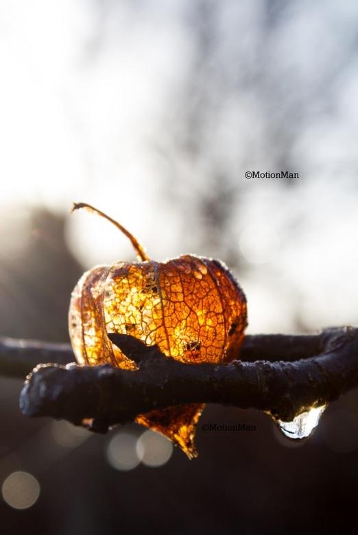 Ochtendzon - Mooie Chinese Lampion, aka de physa alkekengi, in de verse nog koude ochtendzon.<br /> <br /> Nog bedankt voor alle reacties op de vori