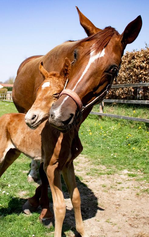 Veulen en merrie - Het paard van mijn zusje had haar veulentje gekregen en op deze foto is het veulen net 5 uren oud..