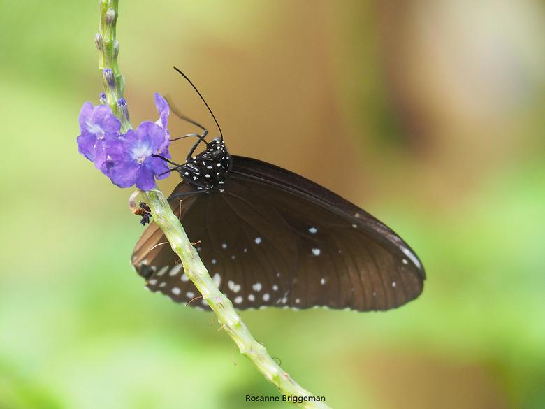 Vlinder - Deze foto heb ik gemaakt in de vlindertuin van Wildlands Zoo Emmen. Er was een bos vol met deze paarse bloemen die vol zat met vlinders.  Ge