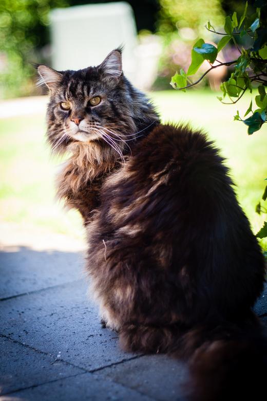 """Powercat - Deze mooie kater heb ik mogen fotograferen <img  src=""""/images/smileys/smile.png""""/>"""