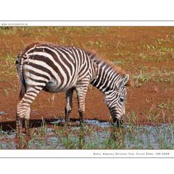 Plains Zebra young, Kenia