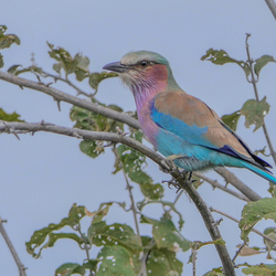lilac breasted roller - namibie