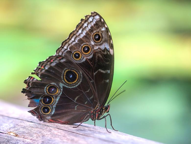 azuurvlinder - mooie azuurvlinder gemaakt in blijdorp
