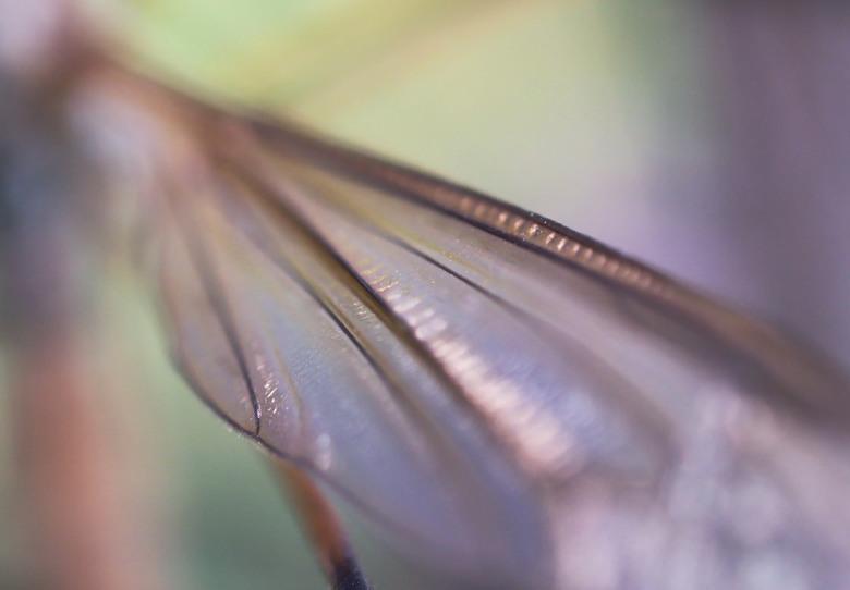 vleugel van een langpootmug - iedereen bedankt voor de reacties op mijn vorige upload. laowa 25mm macro lens 3.5 keer vergroting<br /> mvg.Remco