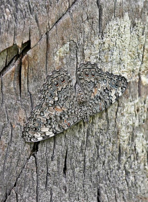 Hamadryas feronia feronia - De Hamadryas noemt men ook wel de crackervlinder. Deze naam heeft de grijskleurige vlinder te danken aan het knetterende g