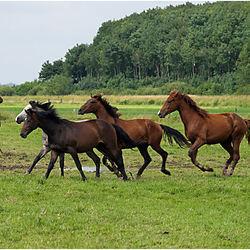 Spelende paarden.