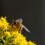 Zweefvlieg op gele bloemen ..