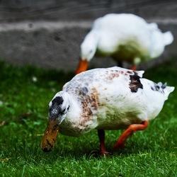 Duck Says Quack