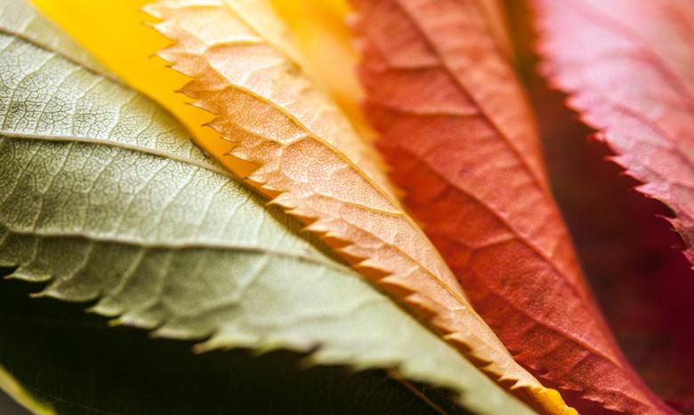 Kleuren van de herfst - Bladeren van dezelfde boom.