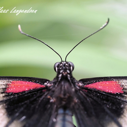 Papilio lowii detial